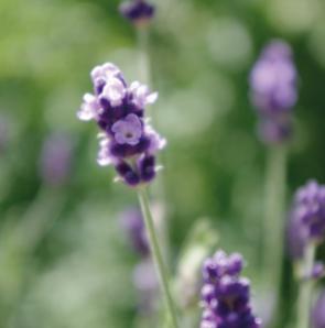 Lavendel_visionmission-297x300